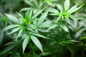 The Last Prohibition: The Vindication Of  Marijuana